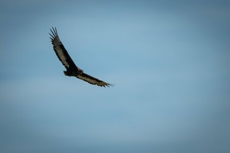 Immature bateleur soars in perfect blue sky Stock fotó