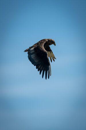 Immature bateleur flaps wings in blue sky