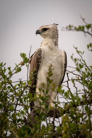 Juvenile African crowned eagle perched in tree Stock fotó