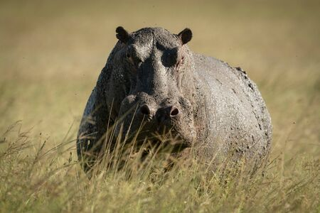 Hippo stands in tall grass eyeing camera