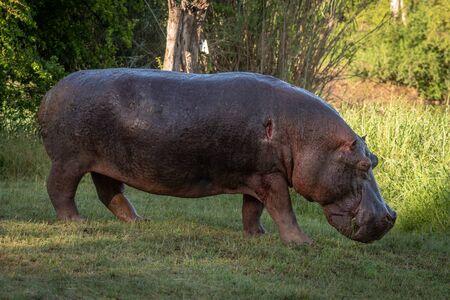 L'hippopotame avec l'épaule blessée marche à travers la pelouse Banque d'images