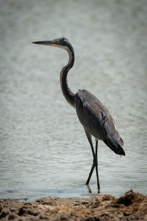 Grey heron stands staring in shallow pond