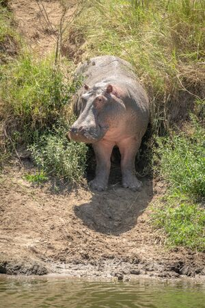 Hippo stands in grassy gully turning head Stock fotó