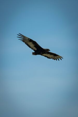 Immature bateleur glides in perfect blue sky