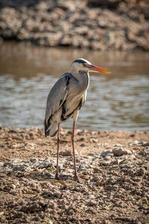 Grey heron stands on sunlit riverbank