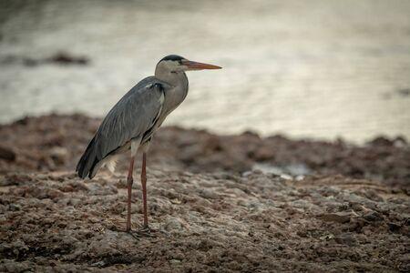 Grey heron stands staring on shingle riverbank