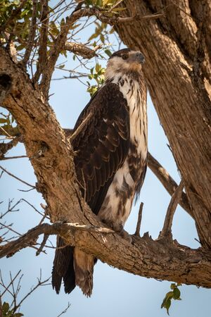 Juvenile African fish eagle perches on branch