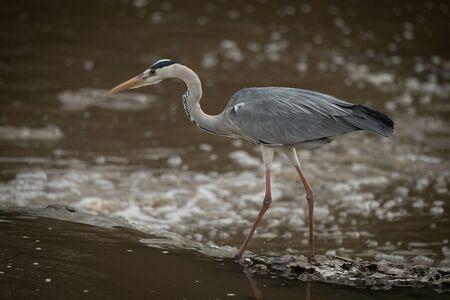 Grey heron walks across waterfall in profile Stock fotó