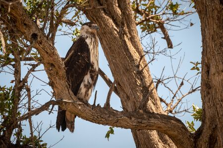 Juvenile African fish eagle perches in tree Stock fotó