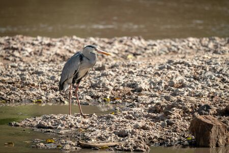 Grey heron stands beside river facing right