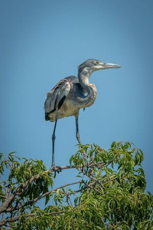 Immature black-headed heron perches on top branch