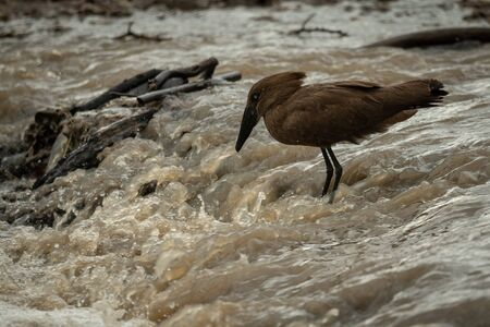 Hamerkop stands in river waiting for fish Stock fotó