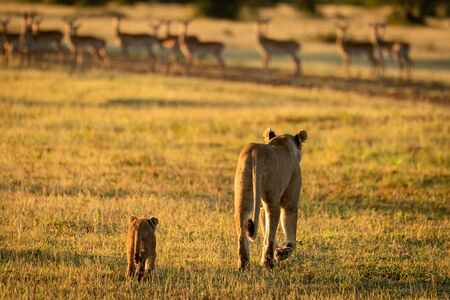 Impala harem watches lioness and cub approaching Stock fotó