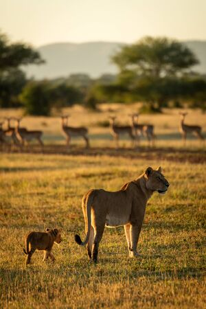 Impala watch lioness and cub standing nearby Stock fotó