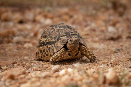 Leopard tortoise crossing dirt track facing camera