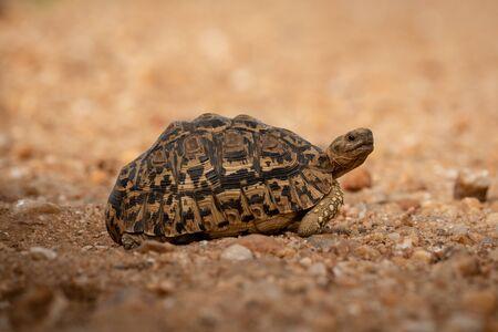 Leopard tortoise crossing dirt track facing right Stock fotó