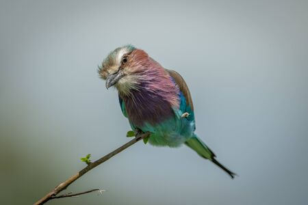 Lilac-breasted roller cocks head perched on branch Stock fotó