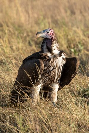 Lappet-faced vulture stands in grass eyeing camera