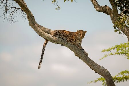 Leopard lies dangling tail from diagonal branch