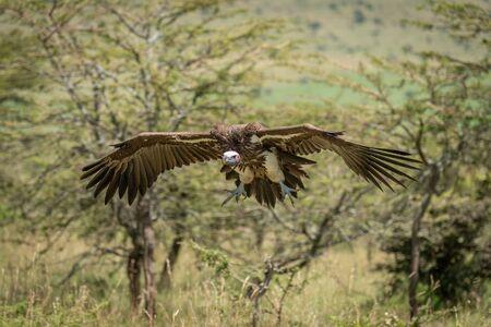 Lappet-faced vulture glides towards landing among trees Stock fotó