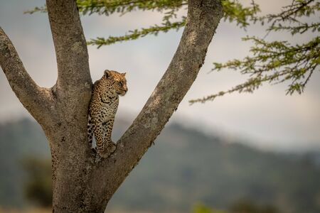 Leopard stands in tree fork facing right