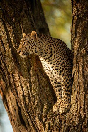 Leopard staring left from fork of tree Stock fotó