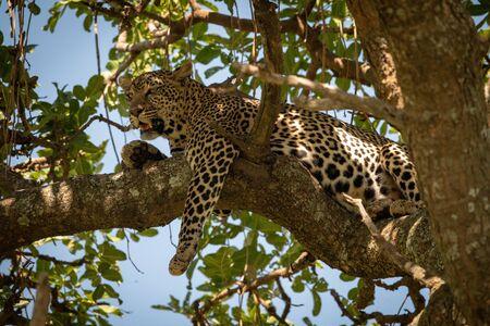 Leopard lies on twisted branch dangling leg