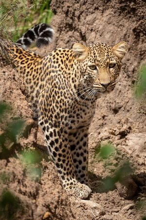 Leopard stands in dry gully watching camera Stock fotó