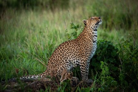 Leopard sits by leafy bushes looking up