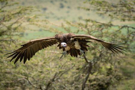 Lappet-faced vulture glides towards landing in trees Stock fotó