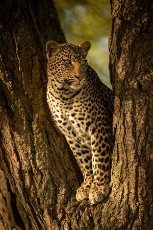 Leopard looking right from fork of tree
