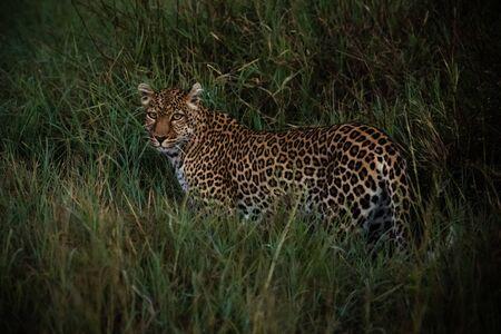 Leopard walks through long grass at dawn Stock fotó