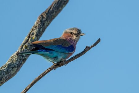 Lilac-breasted roller eyes camera from dead branch Stock fotó