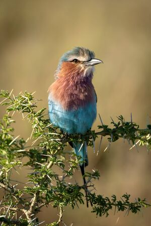 Lilac-breasted roller perches on sunlit thorny branch