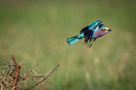 Lilac-breasted roller flies off from thorny branch 免版税图像