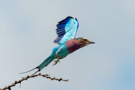 Lilac-breasted roller takes off with wings raised