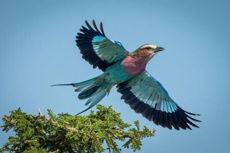 Lilac-breasted roller taking off from thorn bush