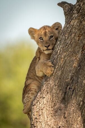 Lion cub faces camera clutching tree trunk