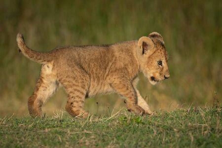 Le lionceau traverse l'herbe dans la lumière dorée