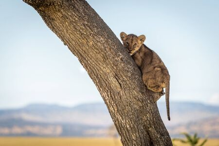 Lion cub clutches tree trunk looking down