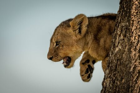 Lion cub leans out from tree trunk
