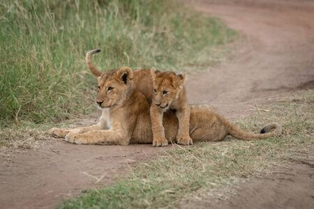 Lion cub lies with another on back