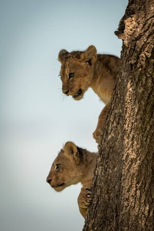 Lion cubs looking out from tree trunk Banque d'images