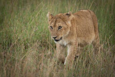 Lion cub walks towards camera in grass