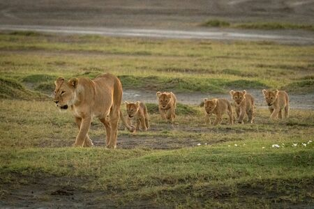 Lioness leading five cubs over bumpy grass