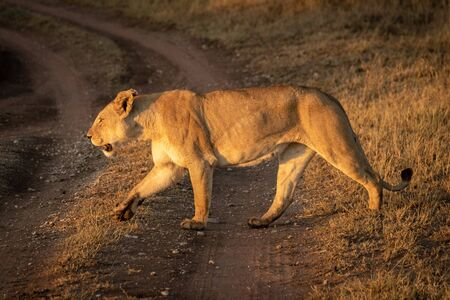 Lioness crosses dirt track with lifted paw