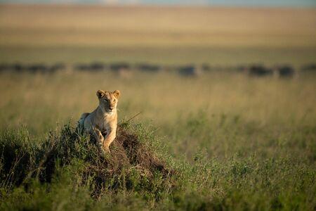 Lioness lies on grassy mound lifting head Stok Fotoğraf