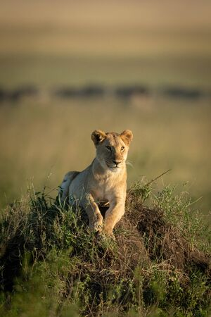 Lioness lies lifting head on grassy mound