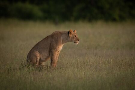 Lioness sits in grass stretching head forward