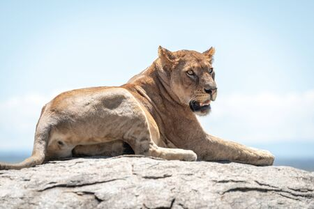 Lioness lies on sunlit rock on savannah